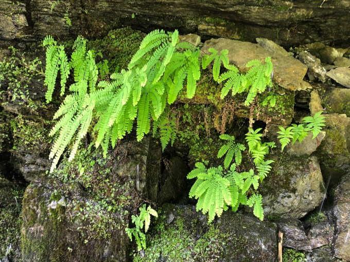 Lucious ferns at Moses Falls